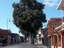 A tree growing straight out of the asphalt in Barrio Aranjuez, San Jose.
