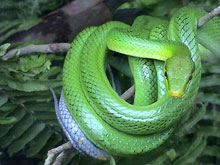 In Costa Rica live 150 different kinds of snakes.