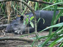 The Central American tapir is in danger of extinction. Inside the park chances are high to spot a tapir with the help of a guide.
