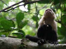 White-faced capuchin monkey in Manuel Antonio National Park.