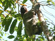 A sloth on the trail from the park entrance to the beach (Sendero Vehicular El Perezoso).