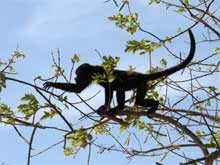 At Playa Conchal wild monkeys come right to the beach.