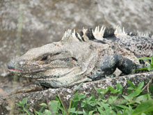 Iguanas are a common sight close to the beach.