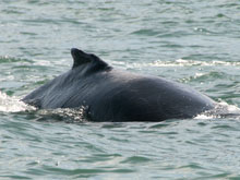 On whale watching tours you can observe the humpback whales in their native environment.