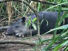 Der bevorzugte Lebensraum des Mittelamerikanischen Tapirs ist der tropische Regenwald, sein Bestand gilt als bedroht. Mit einem ortskundigen Führer kann man den Tapir im Corcovado Nationalpark aufspüren.