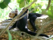 Eine Familie Weissschulterkapuziner-Affen.