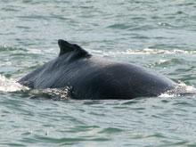 Am einfachsten lassen sich Wale vom Boot aus, mit einer Walbeobachtungstour, sichten. Auf dem Foto handelt es sich um einen Buckelwal.