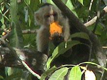 Un mono en el Parque Nacional Manuel Antonio.