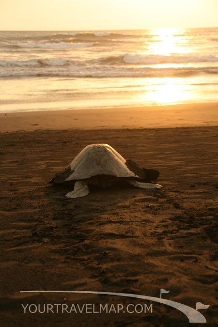 La tortugas golfinas en Playa Ostional.