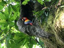 Lapa Roja en su nido en el Parque Nacional Carara, cerca de Playa Jacó.