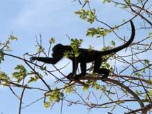 En Playa Conchal los monos salvajes vienen hasta la playa.