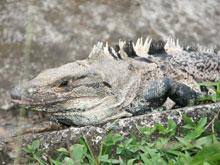 Hay una gran cantidad de iguanas cerca de la playa.