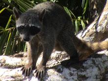 Un mapache en el Parque Nacional Manuel Antonio.