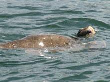 También se pueden observar las tortugas marinas en el Parque Nacional Marino Ballena.